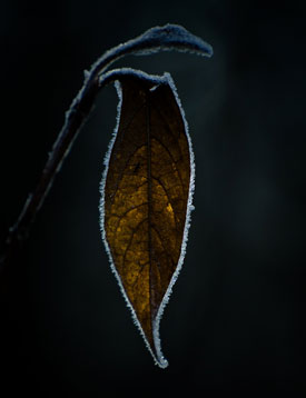 koop_leaf